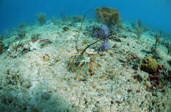 Florida spiny lobster Royalty Free Stock Photos