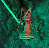 Florida Spiny Lobster Royalty Free Stock Photography