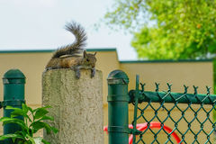 Florida Squirrel Stock Photo