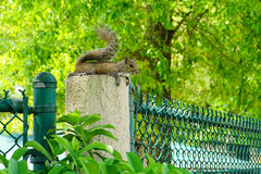Florida Squirrel Royalty Free Stock Image