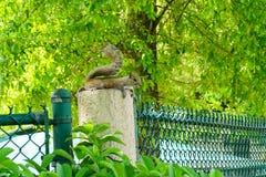 Florida Squirrel Royalty Free Stock Image