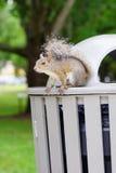 Florida Squirrel Stock Images