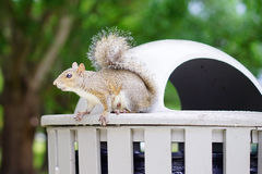 Florida Squirrel Royalty Free Stock Photography