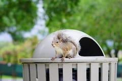 Florida Squirrel Stock Photo