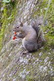 Florida Squirrel is eating junk food Royalty Free Stock Images