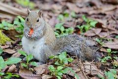 Florida Squirrel is eating junk food Stock Photos