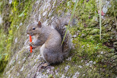 Florida Squirrel is eating junk food Stock Images