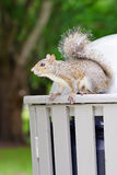 Florida Squirrel on garbage can Stock Photo