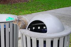 Florida Squirrel on garbage can Royalty Free Stock Photos