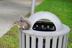 Florida Squirrel on garbage can Royalty Free Stock Images