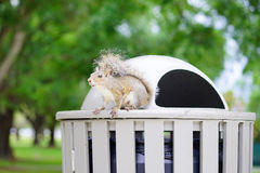 Florida Squirrel is looking for food Royalty Free Stock Photography
