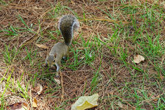 Florida Squirrel is looking for food Royalty Free Stock Image
