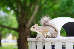 Florida Squirrel is looking for food Stock Image
