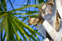 Florida Squirrel on palm tree Stock Images