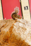 Florida Squirrel on rock Stock Photos