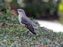 Florida State Bird Northern Mockingbird Stock Image