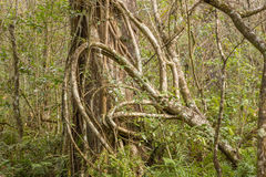 Florida Strangler Fig Tree Stock Photo