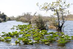 Florida-Sumpfgebiet, Airboatfahrt am Everglades-Nationalpark in USA Populärer Platz für Touristen stockfoto