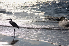 Florida sunrise. Heron on beach Royalty Free Stock Image