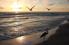 Florida sunset. Seagull and heron at sunset Stock Image