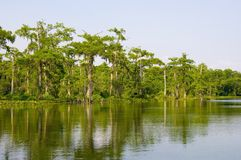 Florida swamp. The still waters of a Florida swamp royalty free stock photo