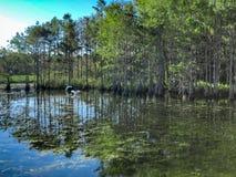 Florida swamp bird royalty free stock photo