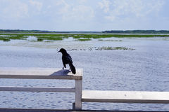 Florida swamp, duck and crow Royalty Free Stock Photography