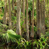 Florida Swamp Forest royalty free stock image