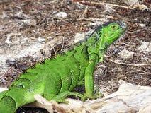 Florida tangenter Delstatspark av Bahia honda, grön leguan Arkivbilder