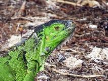 Florida tangenter Delstatspark av Bahia honda, grön leguan Arkivfoton