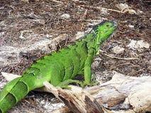 Florida tangenter Delstatspark av Bahia honda, grön leguan Royaltyfria Foton