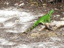 Florida tangenter Delstatspark av Bahia honda, grön leguan Arkivbild
