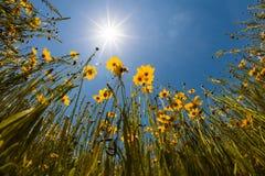 Florida Tickseed in bloom in Myakka River State Park in Sarasota Florida royalty free stock photography