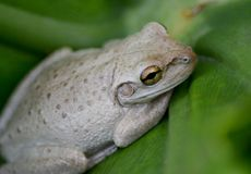 Florida Tree Frog Hiding in Plain Sight. Royalty Free Stock Photo