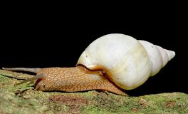 Florida tree snail Stock Photography