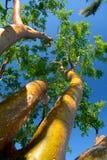 Florida turist- träd - Gumbo-limbo arkivfoton
