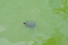 Florida Turtle Stock Photography