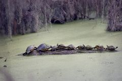 Florida Turtles Sunning On A Log. In a Swamp Royalty Free Stock Image