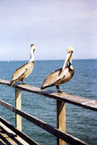Florida the two pelicans 1999 Royalty Free Stock Image