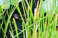 Florida usa  gator park september babies alligators. There is on September ,Florida state ,Everglades Gator Park ,USA starting their life hundreds babies of Stock Photo