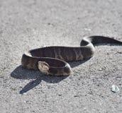 Florida Water Snake Stock Photography