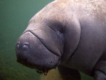 Florida: West Indian Manatee Stock Image