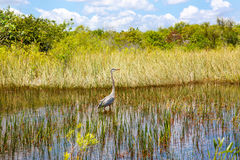 Florida wetland, Airboat ride at Everglades National Park in USA. Popular place for tourists, wild nature and animals Stock Photography