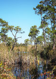 Florida Wetlands with Pine Trees Landscape Stock Photos