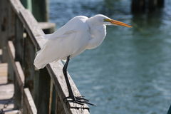 Florida white bird Royalty Free Stock Images