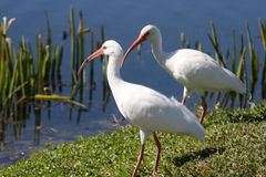 Florida White Ibis Birds Stock Image