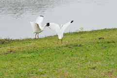 Florida White IBIS Royalty Free Stock Images