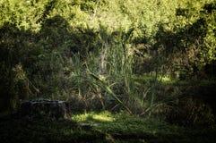 Florida-Wildnisansicht mit Cattailanlagen lizenzfreie stockfotos