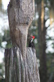 Florida woodpecker. On a tree Stock Images