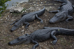 Florida& x27; alligatore di s Fotografia Stock
